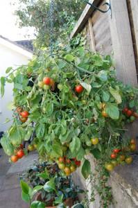 Hanging basket tomato