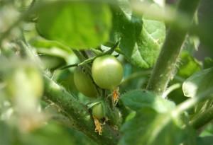 Tomato diary